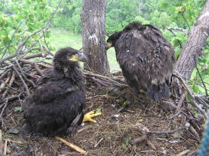 8 week old eaglets. Picture compliments of CCB.